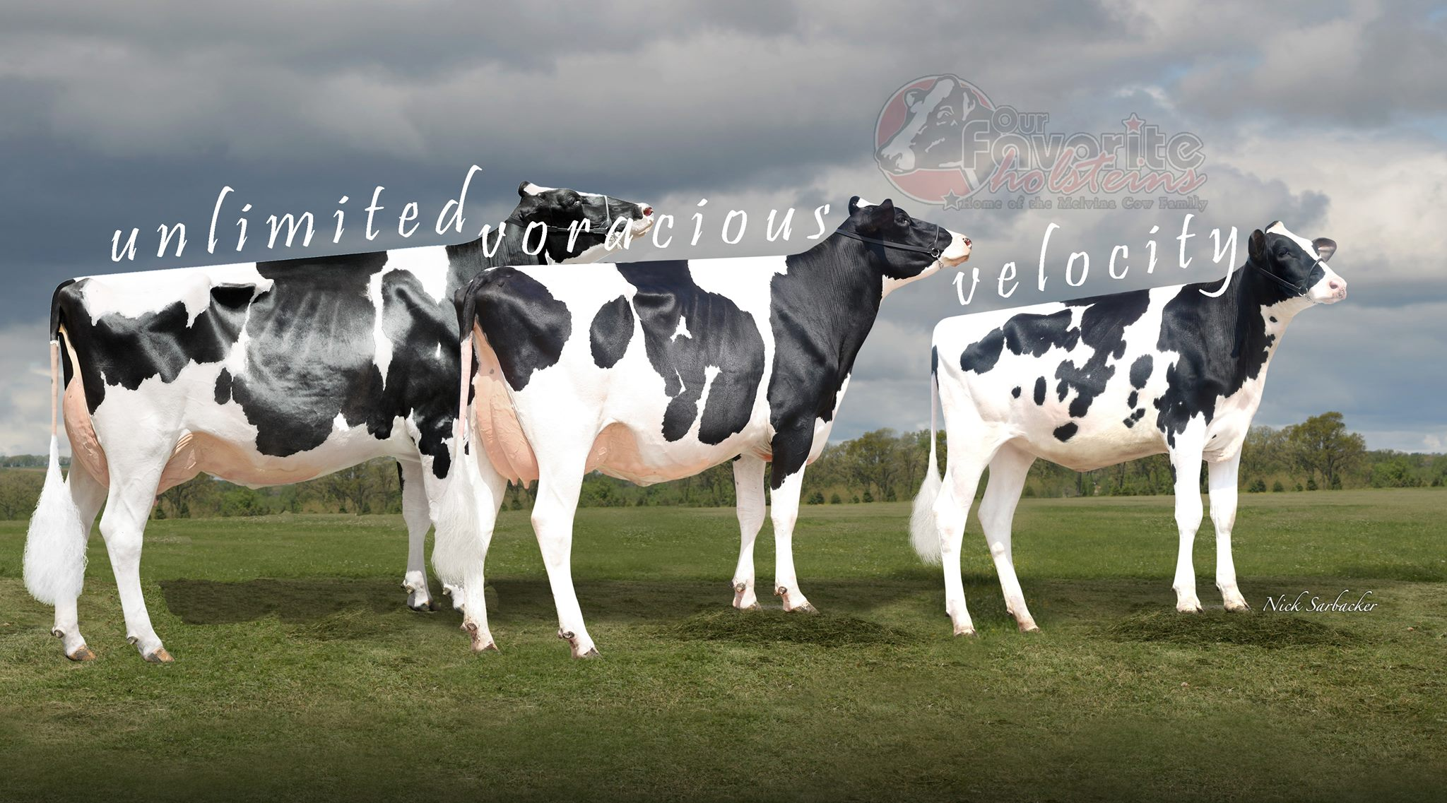 Our Favorite Holsteins